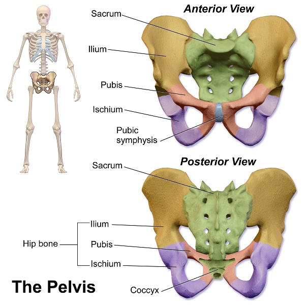 The Tailbone A Literal And Figurative Pain In The Butt