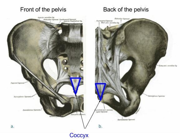 Coccyx Oh My Coccyxpelvic Health And Rehabilitation Center