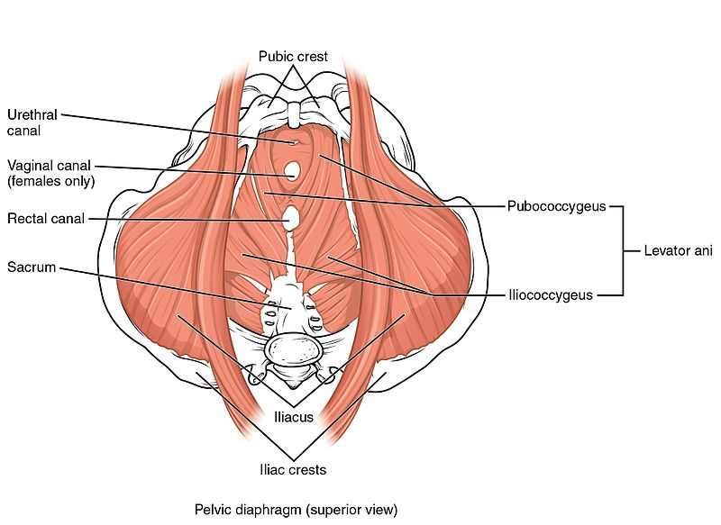 Your Pelvic Floor What Is It Good Forpelvic Health And