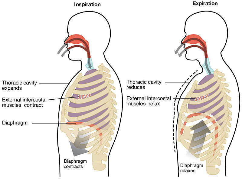 Diaphragmatic Breathingpelvic Health And Rehabilitation Center